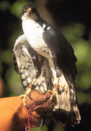 black sparrowhawk female.jpg